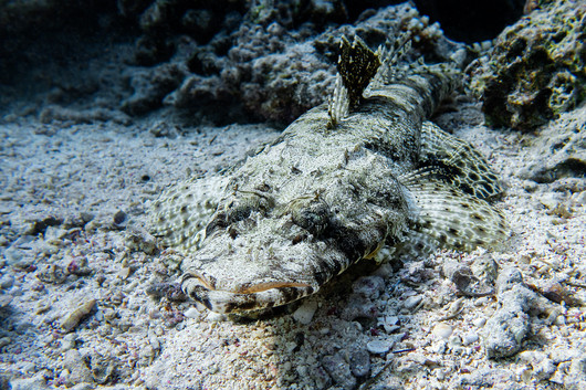 Teppich-Krokodilfisch [Cociella crocodilus]