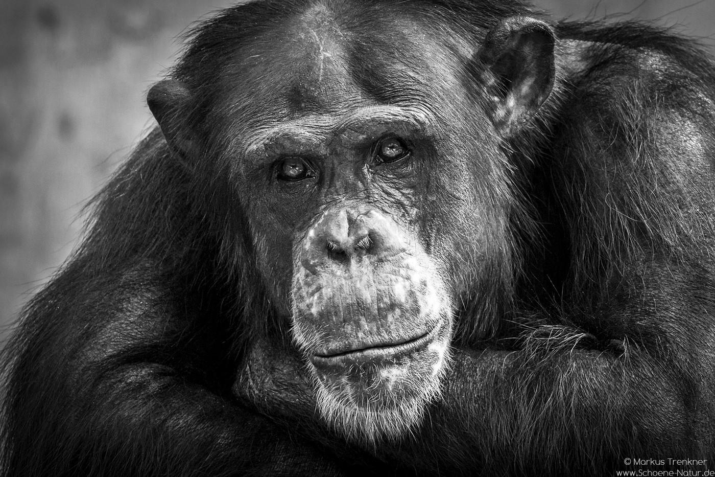 Schimpanse [Pan]