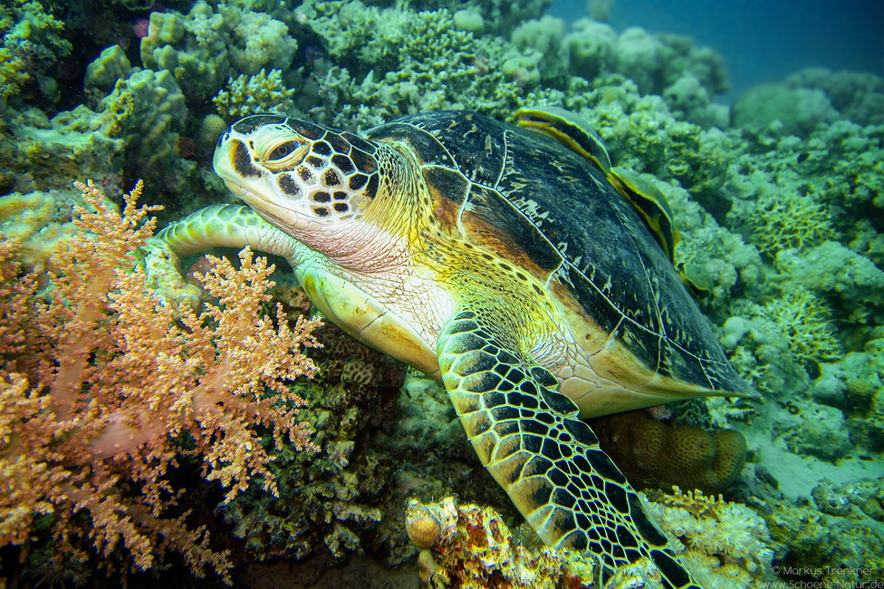 Grüne Meeresschildkröte [Chelonia mydas]
