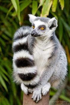 Katta [Lemur catta]