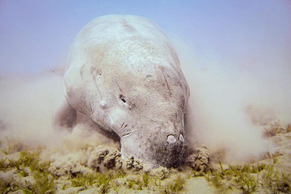 Dugong [Dugong dugon]