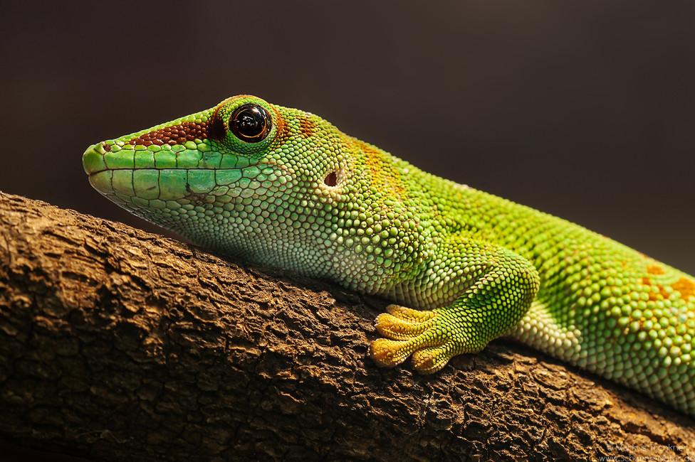 Madagaskar Taggecko [Phelsuma madagascariensis]