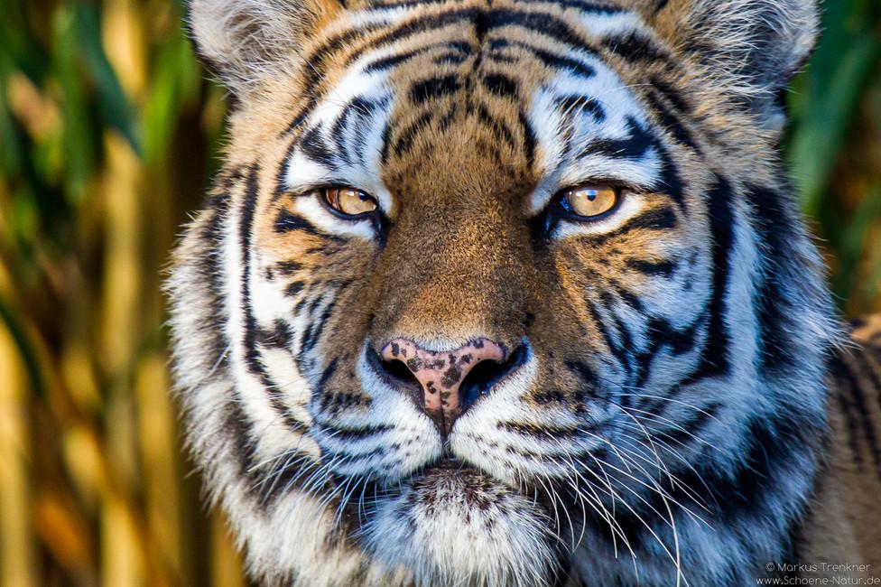 Sibirischer Tiger [Panthera tigris altaica]
