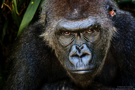 Flachlandgorilla [Gorilla gorilla]