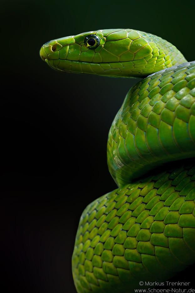 Grüne Mamba [Dendroaspis viridis]