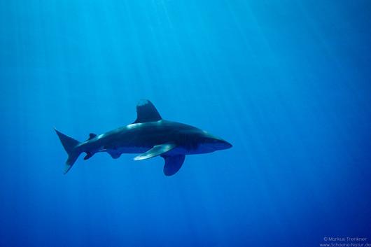 Weißspitzen-Hochseehai [Carcharhinus longimanus}