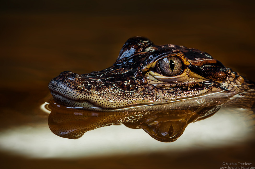 Mississippi-Alligator [Alligator mississippiensis]