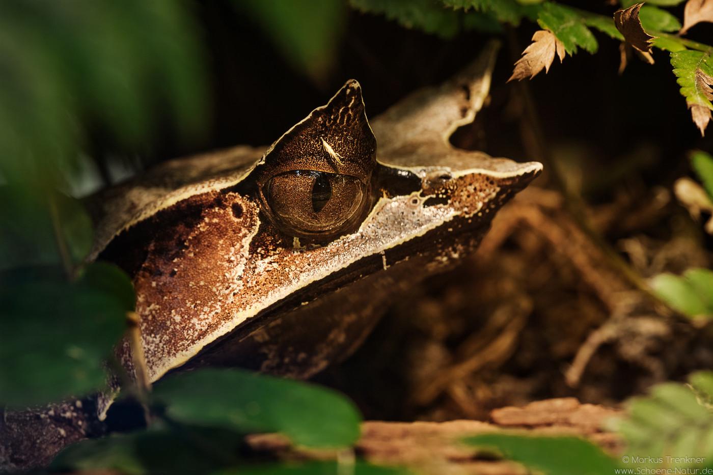 Asiatischer Zipfelfrosch [Megophrys nasuta]