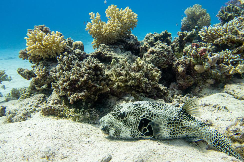 Riesenkugelfisch [Arothron stellatus]