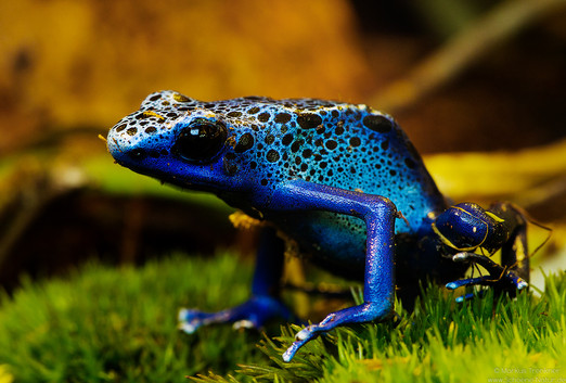 Blauer Baumsteiger [Dendrobates tinctorius azureus]