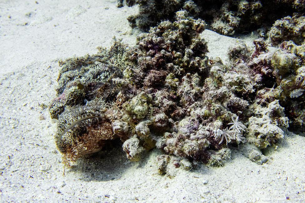 Bärtiger Drachenkopf [Scorpaenopsis barbata]