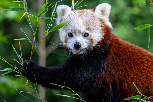 Kleiner Panda [Ailurus fulgens]