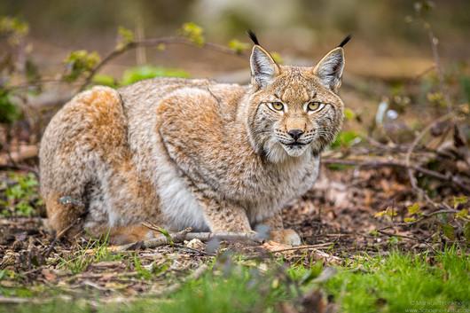 Luchs [lynx]