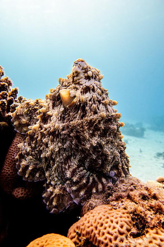 Roter Krake [Octopus cyanea]