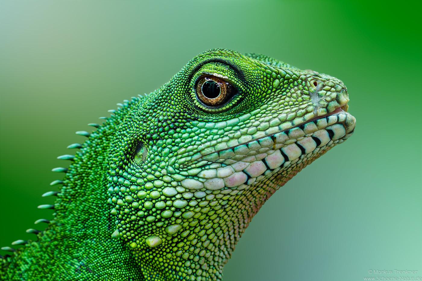 Grüne Wasseragame [Physignathus cocincinus]