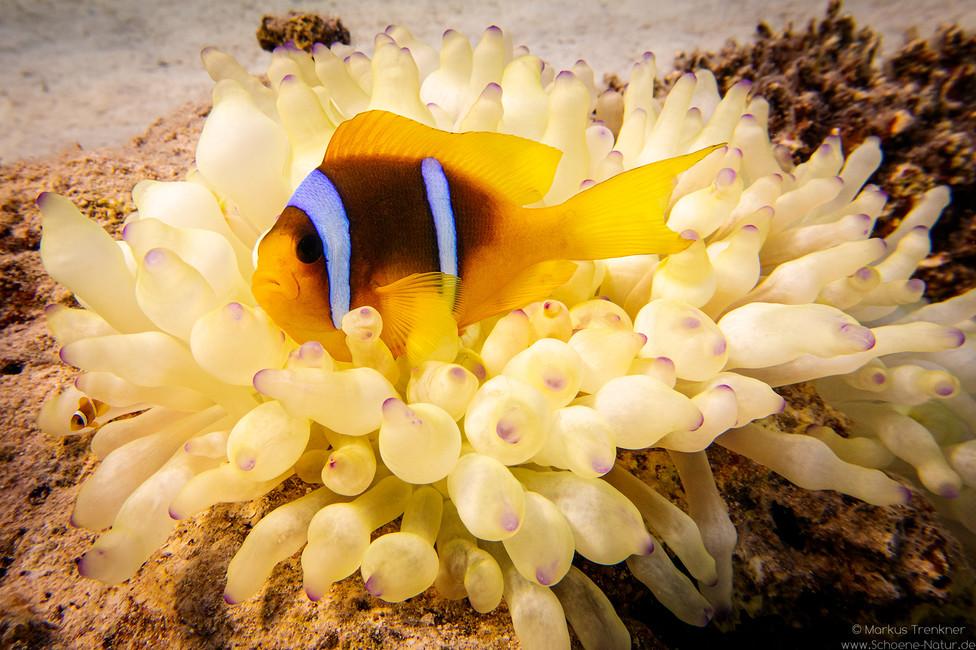 Clarks Anemonenfisch [Amphiprion clarkii]