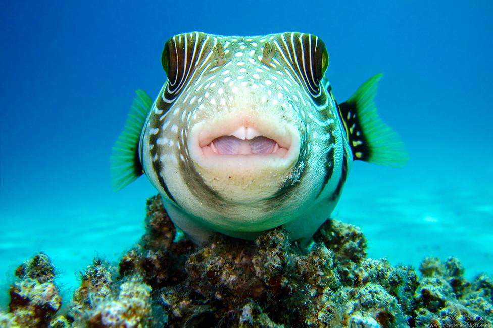 Weißflecken-Kugelfisch [Arothron Hispidus]