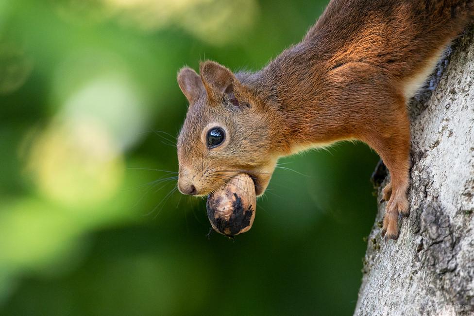Eichhörnchen [Sciurus vulgaris]