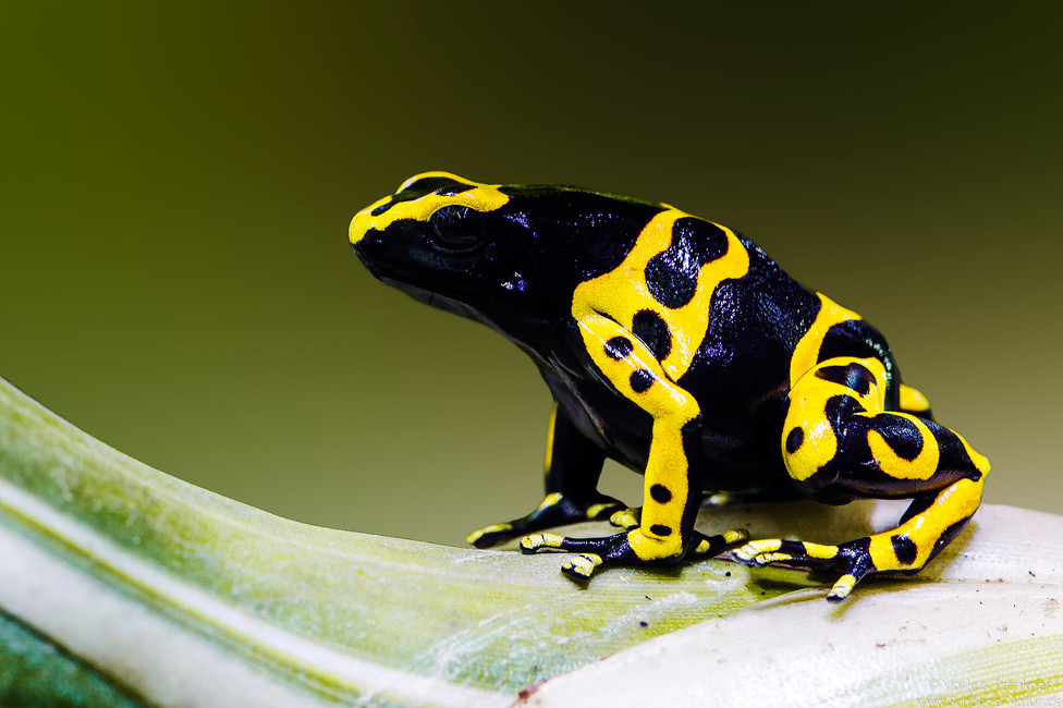 Gelbgebänderter Baumsteiger [Dendrobates leucomelas]