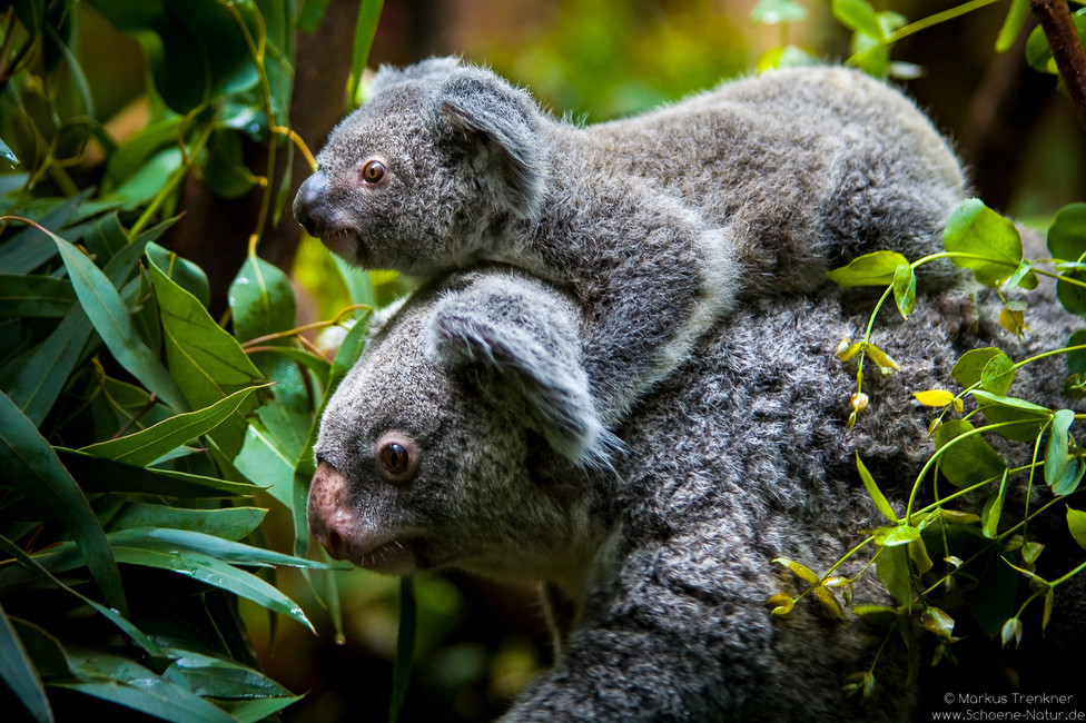Koala [Phascolarctos cinereus]