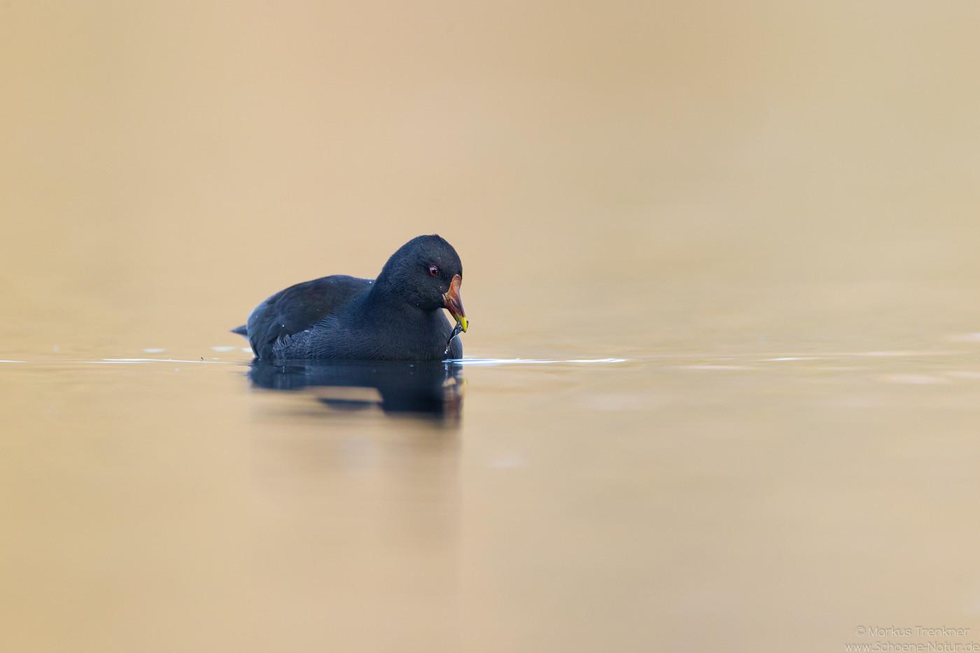 Teichhuhn [Gallinula chloropus]