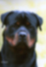 Jezeve Rottweilers