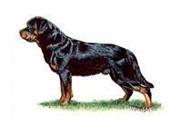 Rottweiler Breed Standard