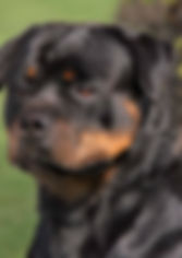 Guardami Rottweilers