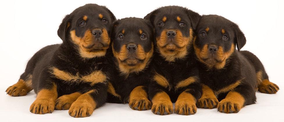 Rottweiler Stud Dogs, Rottweiler Stud Dogs UK
