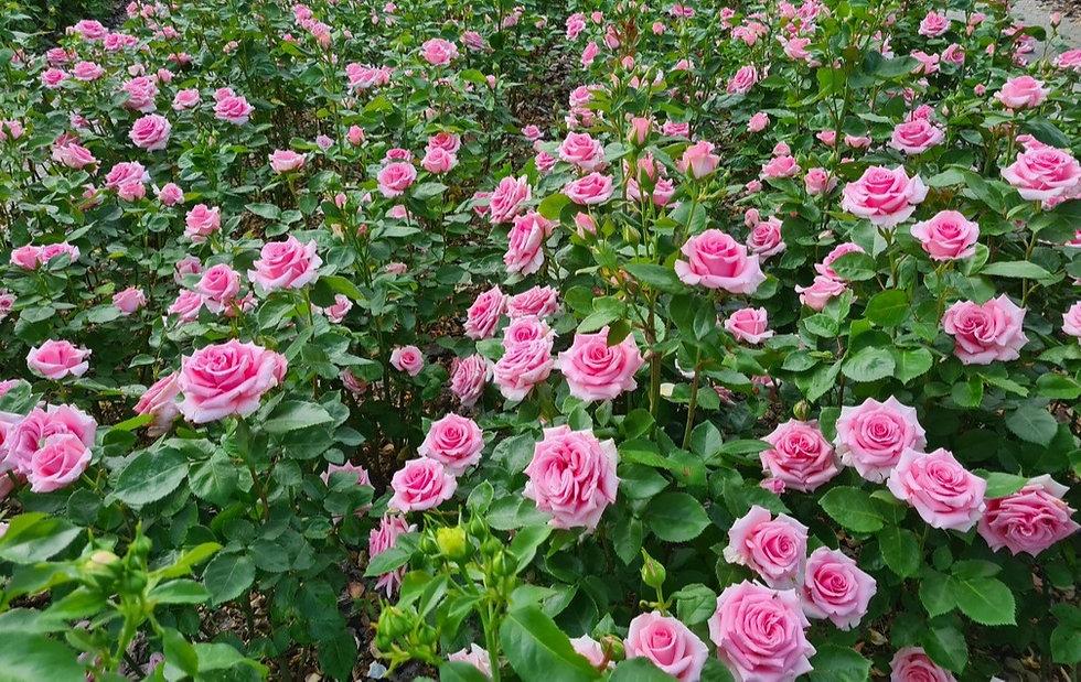 Розовые розы в парке Камелия