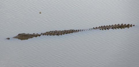 Крокодил плывет