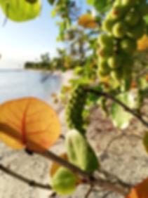 Плоды, висящие над пляжем