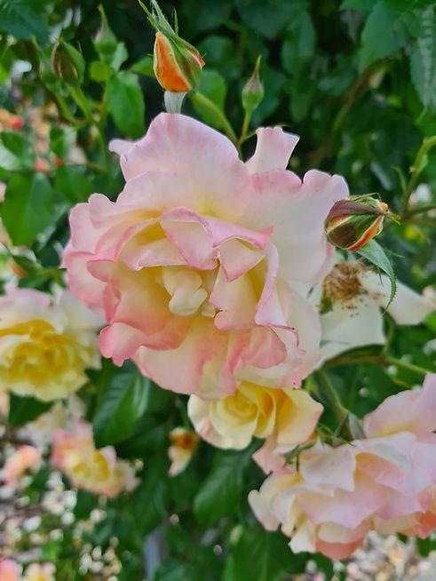 Бело-розовые розы в парке Камелия