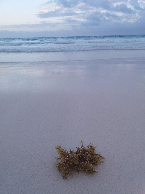 Водоросль на пляже Тулума