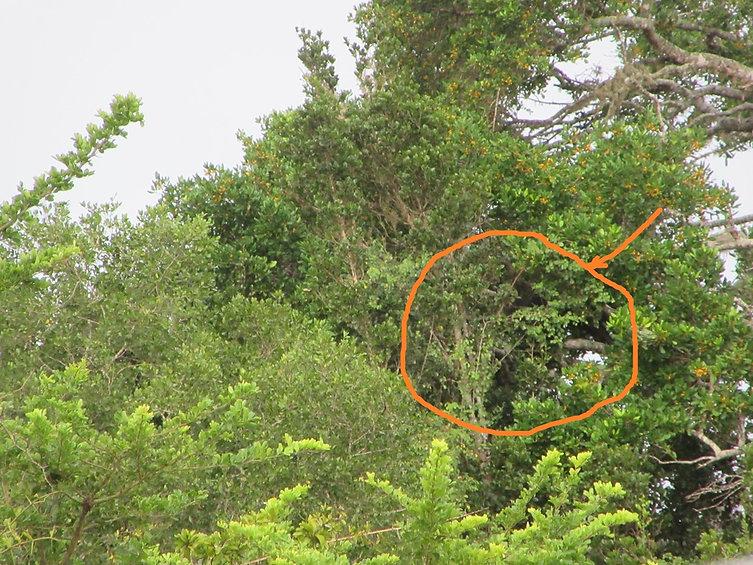 Медведь-губач лезет на дерево