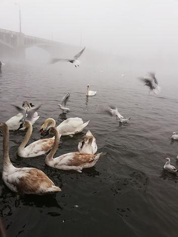 Лебеди на реке Влтава, Прага
