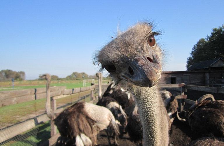 Удивленный страус