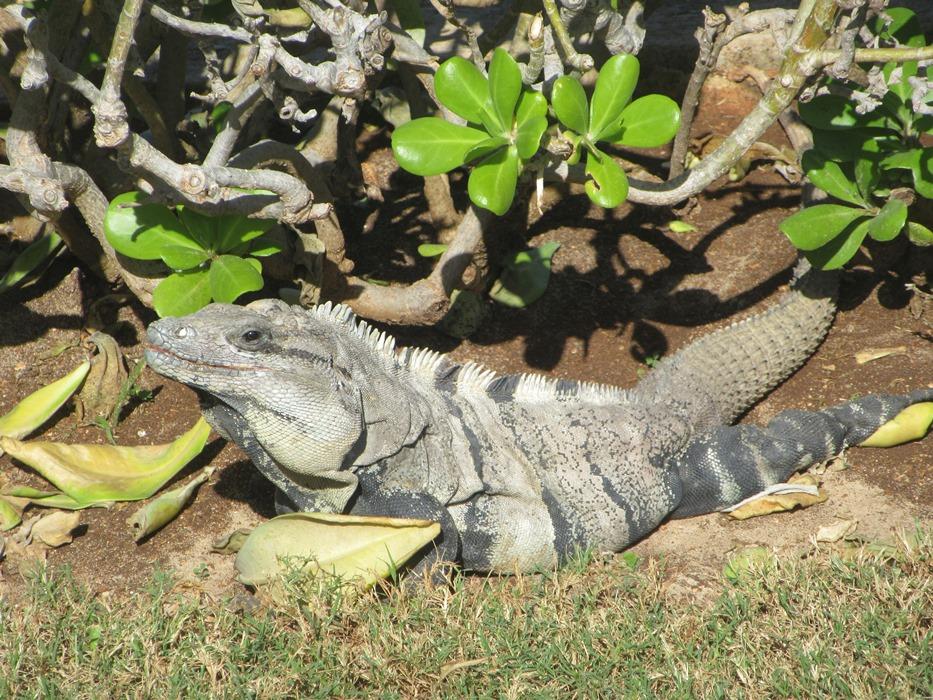 Игуана на отдыхе