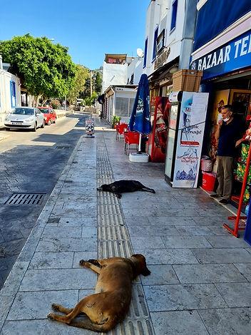 Собаки на улицах Бодрума