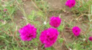 Розовые цветы в Кабо-Верде