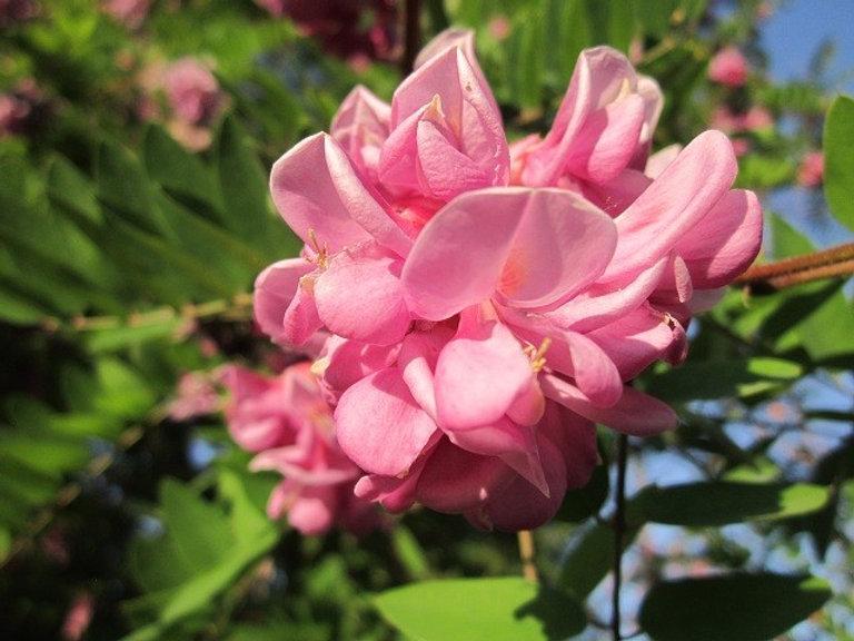 Цветы розовой акации