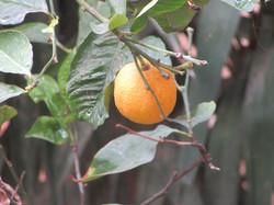 Апельсины под дождем