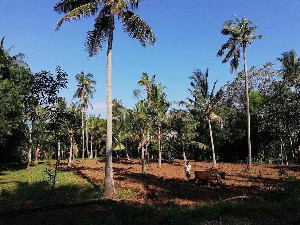 Пашут землю между пальм