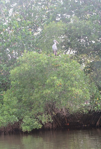 Птица в мангровых зарослях