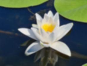 Лилия на реке Козак
