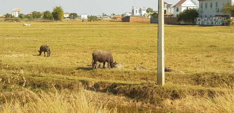 Животные города Сиемреап
