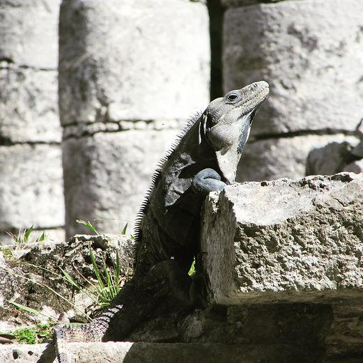 Игуана расслабляется на солнце
