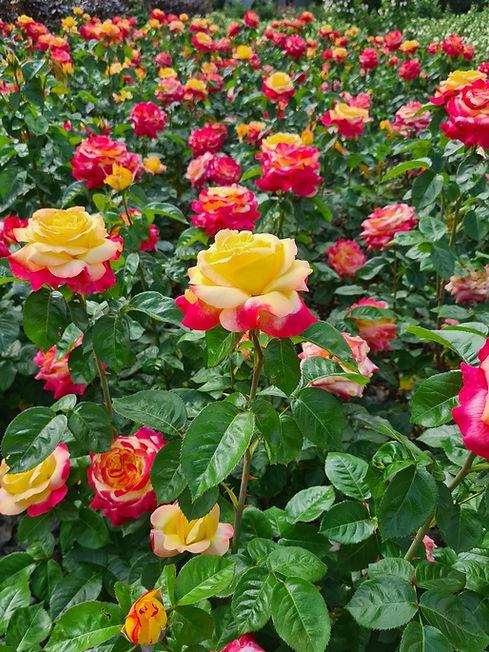Желто-вишневые розы в парке Камелия