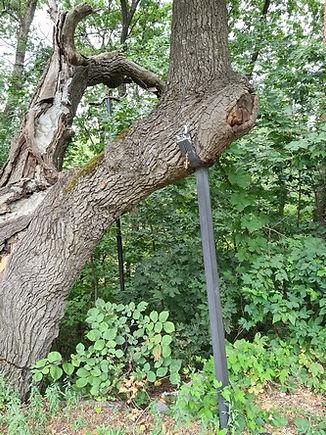 Подпорка дуба Грюневальда