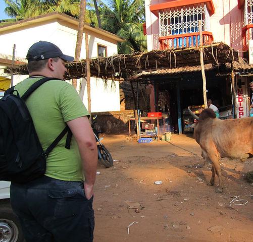 Священные коровы Калангута